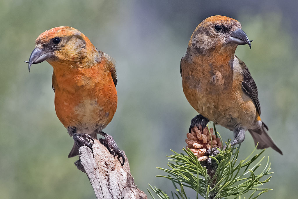 Red crossbill males.